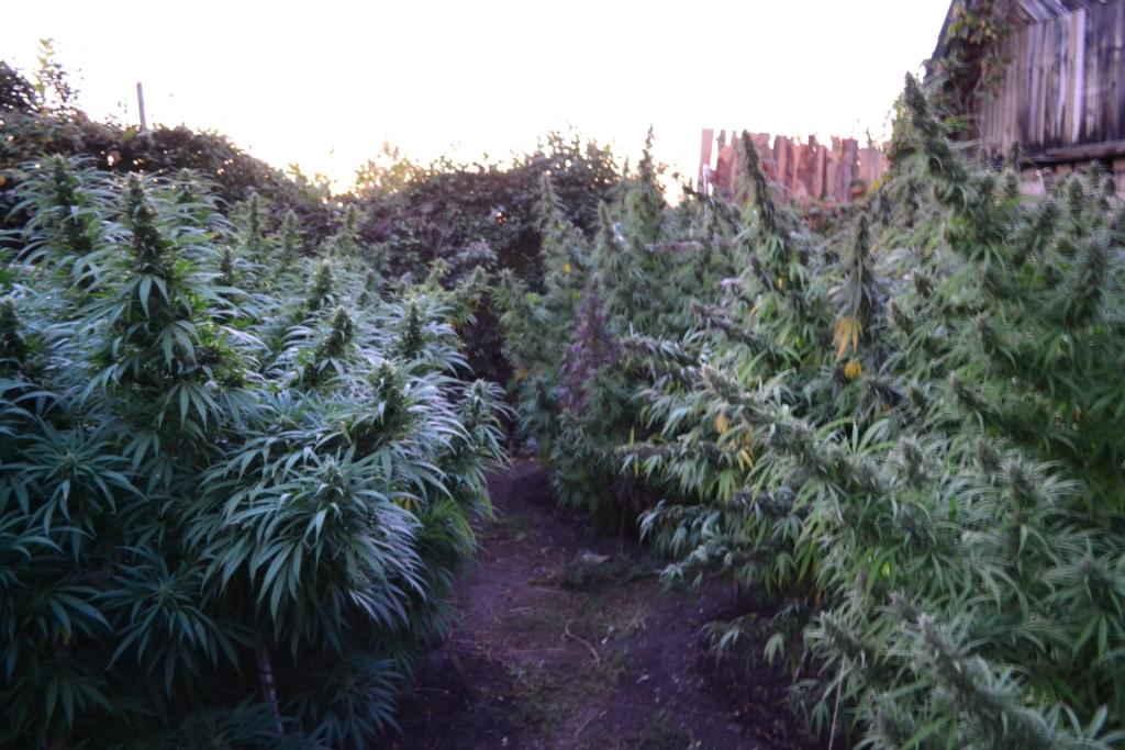 Конопля в открытом поле в чем разница между анашой и марихуаной
