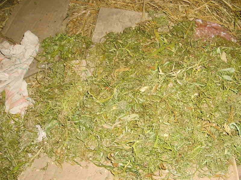 заказать семена марихуаны феминизированные