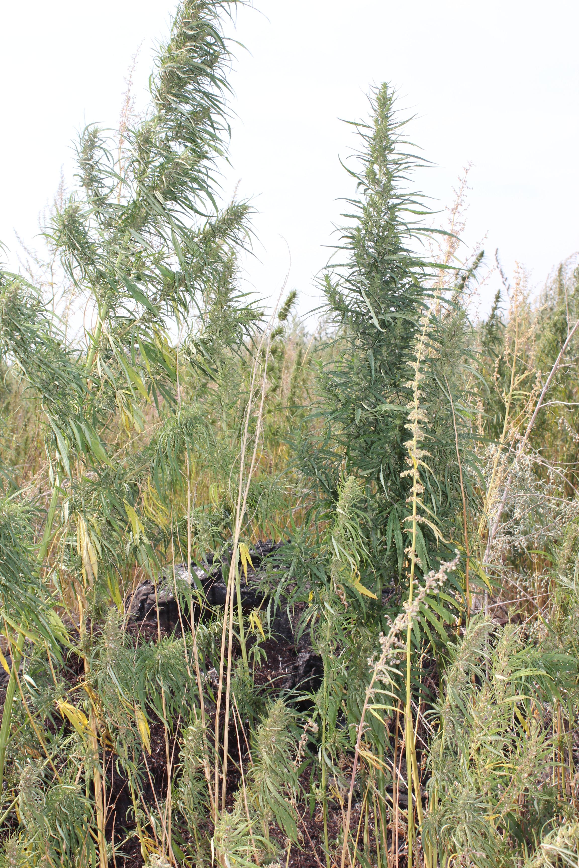 Конопля в оренбургской области урбеч польза из семян конопли