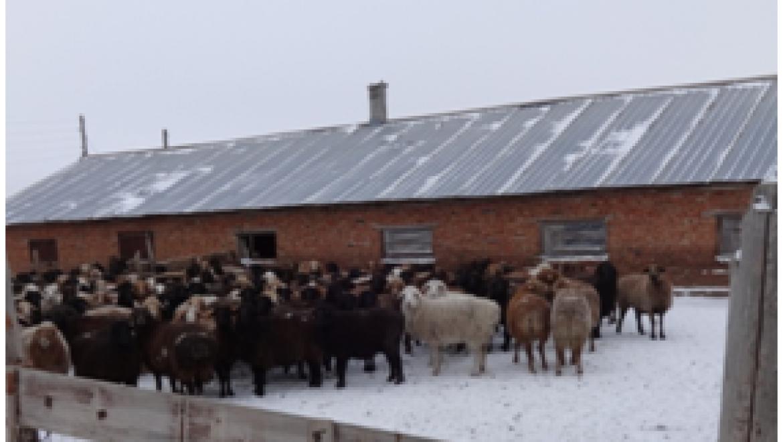 В Акбулакском районе задержана отара овец