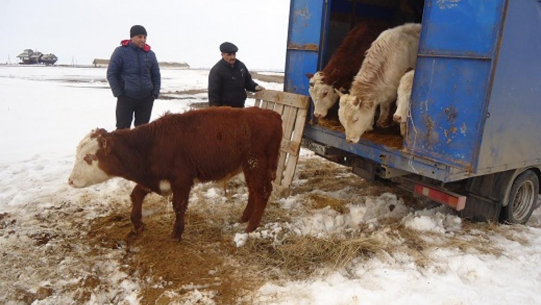 В Акбулаке задержаны 32 головы крупного рогатого скота