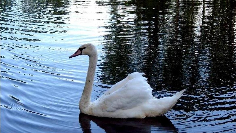 Казанский зооботсад выпустил в городскую среду 6 лебедей