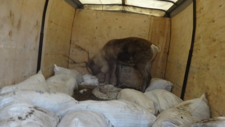 ИзОренбургской области нелегально пытались вывезти оленя