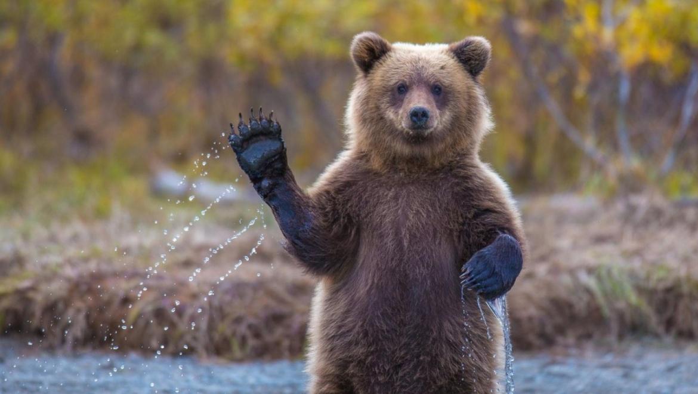 По Медногорску прогулялся медведь