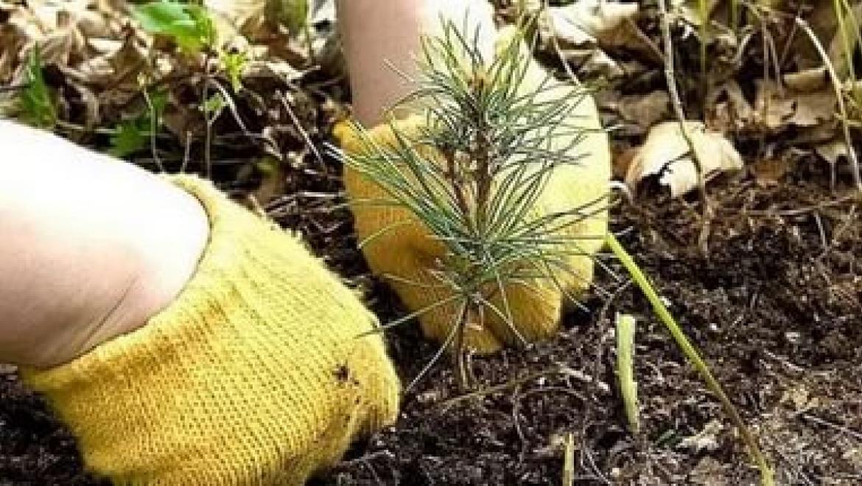 ВПономаревском районе мужчина посадил краденые сосны намогилах родни