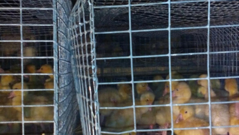 1000 гусят из Чувашии задержали на границе