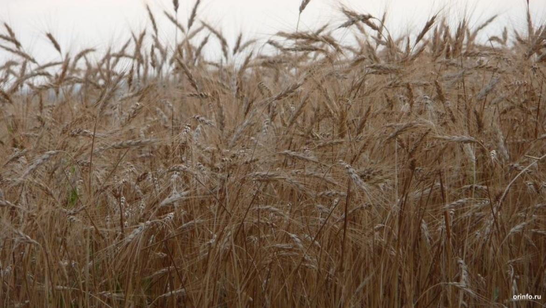 Холодное лето вОренбуржье достаточно серьезно воздействовало наурожайность зерновых— специалисты
