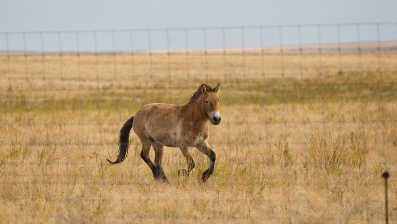 В заповеднике «Оренбургский» выпущена на волю вторая группа лошадей Пржевальского