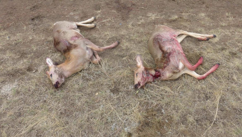 В Новосергиевке задержан пенсионер-охотник с двумя тушами косуль