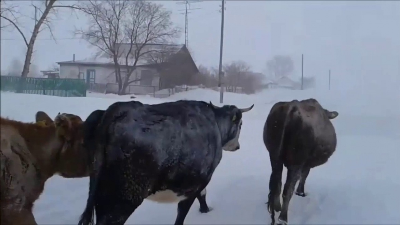Лидер по развитию животноводства - Александровский район
