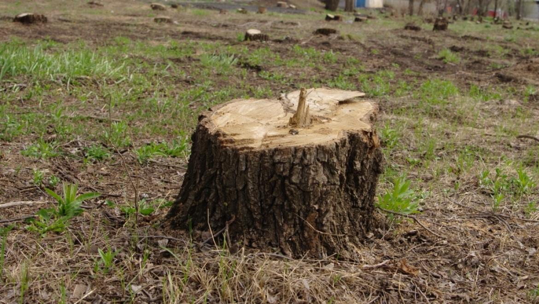 Уголовное дело по факту незаконной рубки деревьев направлено в суд