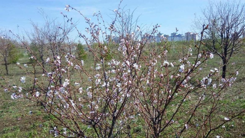 Японская сакура цветет в Оренбурге