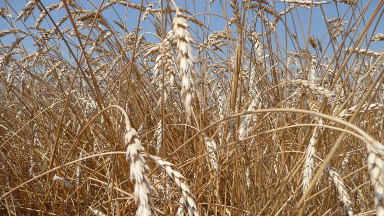 Оренбуржье приступило к уборке зерновых