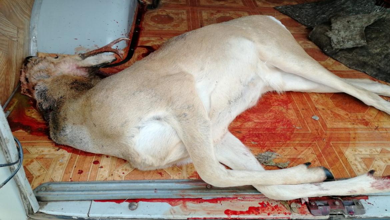 Незаконная охота на сибирскую косулю
