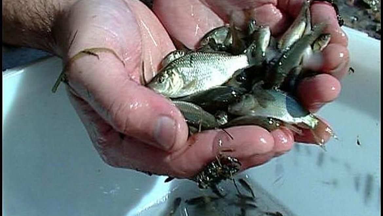 25 тонн мальков выпустят в Ириклинское водохранилище