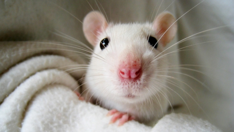 Pet rat odor control