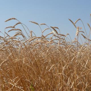 Обсуждение программы развития семеноводства зерновых в Оренбургской области